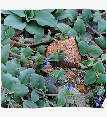 Blue Oyster Plant Poster
