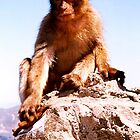 Young Rock Ape - Barbary Macaque by Dennis Melling