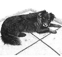 Bess - Boarder Collie by Paul Stratton