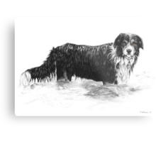 Dog in Water - Boarder Collie Metal Print