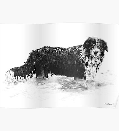 Dog in Water - Boarder Collie Poster