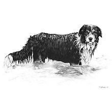Dog in Water - Boarder Collie Photographic Print