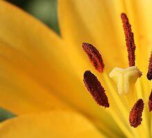 Day Lily Brilliance by Docharmony