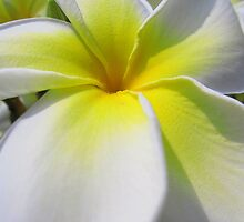 Perfect White Plumeria  by reneecettie