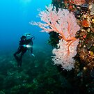 Diver and Gorgonian Fan by Jamie Kiddle