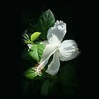 Angel Hibiscus by Laurianne  Macdonald
