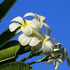 White Plumerias against Blue Sky by reneecettie