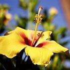 Yellow Hibiscus  by reneecettie
