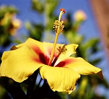 Yellow Hibiscus  by reneecettie