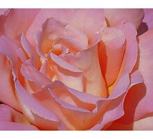 Beautiful Pink Rose Photographic Print