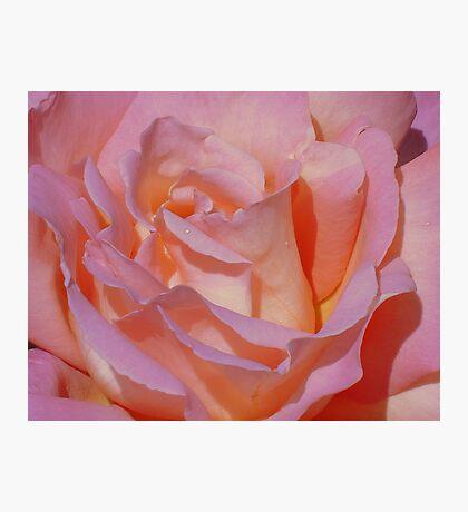 Beautiful Pink Rose Photographic Print