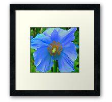 Single Himalayan Blue Poppy  Framed Print