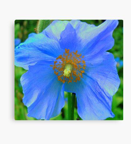 Single Himalayan Blue Poppy  Canvas Print