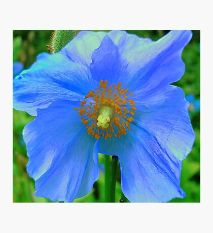 Single Himalayan Blue Poppy  Photographic Print
