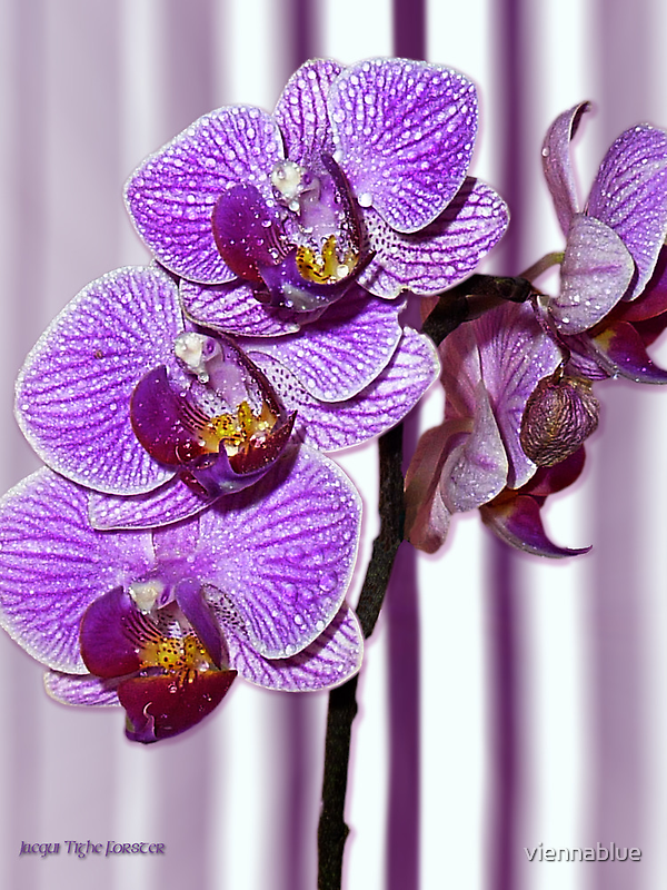 Purple Orchid with stripe by viennablue