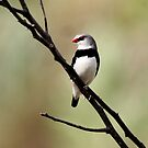 diamond firetail finch by Kym Bradley