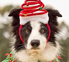 Christmas Collie by ZebsterBC