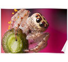 (Servaea vestita) Jumping Spider On Flower Poster