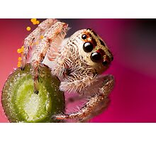 (Servaea vestita) Jumping Spider On Flower Photographic Print