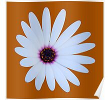 White Daisy with Purple Center Poster