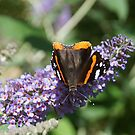 butterfly on a purple flower  by hpostant