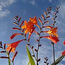 Monbretia by Richard Ion