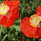 Poppy and bees by Tom McDonnell