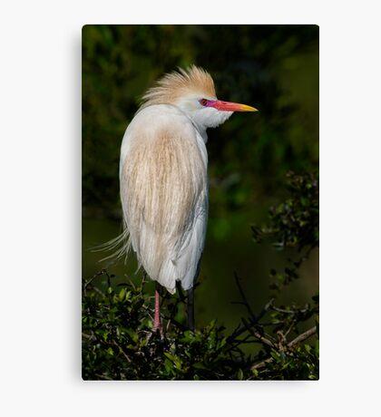 Cattle Egret profile Canvas Print