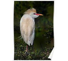 Cattle Egret profile Poster