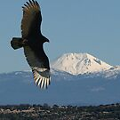 Turkey Vulture by Dave Davis