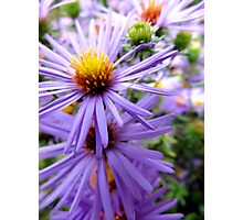 Dainty Aster Photographic Print