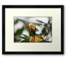 Yellow Rose3 Framed Print