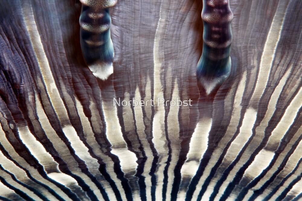 Zebra Anemone by Norbert Probst