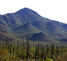 Saguaro Garden  by Randomshots68