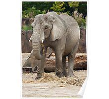 Female Elephant Poster