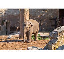 Baby Asian Elephant Photographic Print