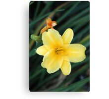 Yellow Lily in Late Summer Canvas Print