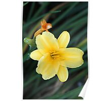 Yellow Lily in Late Summer Poster