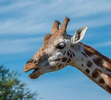 Rothschild Giraffe head open mouth by Russell102