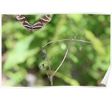 Zebra Longwing Butterfly (Heliconius charitonius) Poster