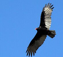 Turkey Vulture in Flight by Docharmony