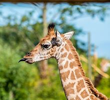 Rothschild Giraffe sticking out tongue by Russell102
