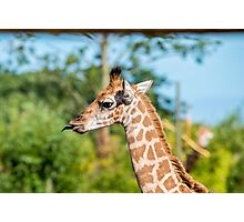 Rothschild Giraffe sticking out tongue Photographic Print