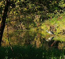 Great Blue Heron Reflecting by Docharmony