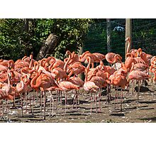 Flock of Flamingos Photographic Print