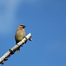 Cedar Waxwing by Docharmony