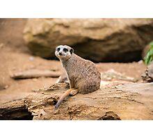 Meerkat on a rock Photographic Print