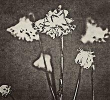 Chrysanthemum by photosmoo