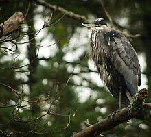 Great Blue Heron by Sheri Bawtinheimer