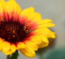 Gaillardia Flower Sticker
